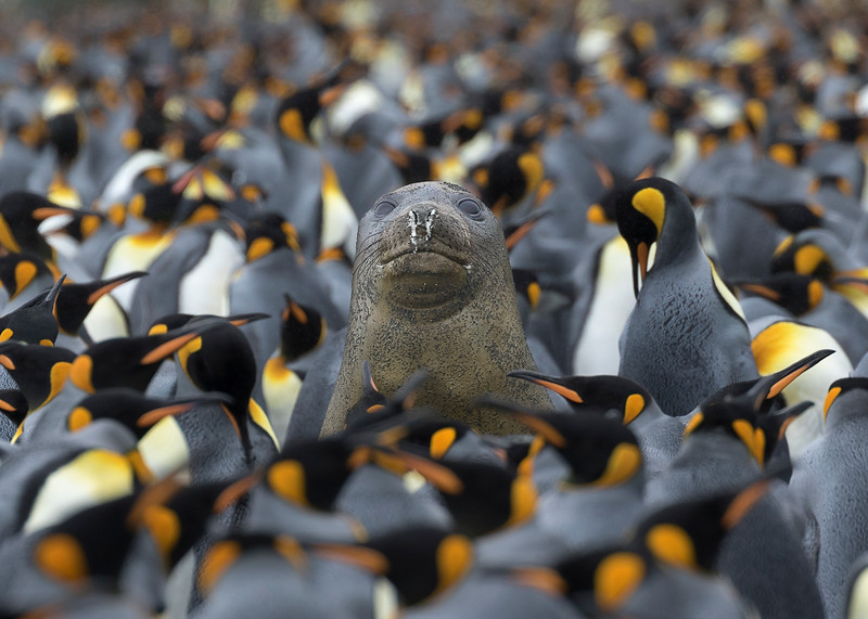 Elephant Seal amongst King Penguins