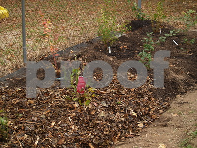 blueberries-are-perfectly-suited-for-east-texas-gardens