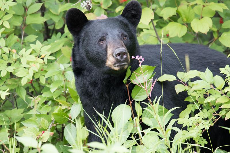 Black Bear Alcan Highway -4.jpg