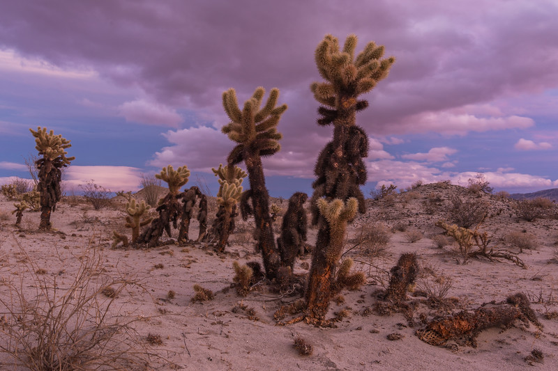 Cholla and ominous clouds on the horizon