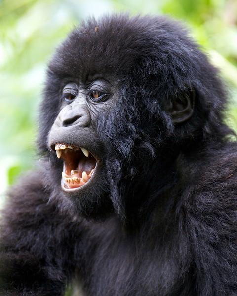 Gorillas  8407.jpg