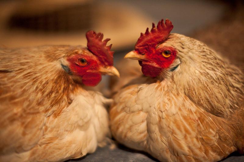 sep23_chickens.jpg