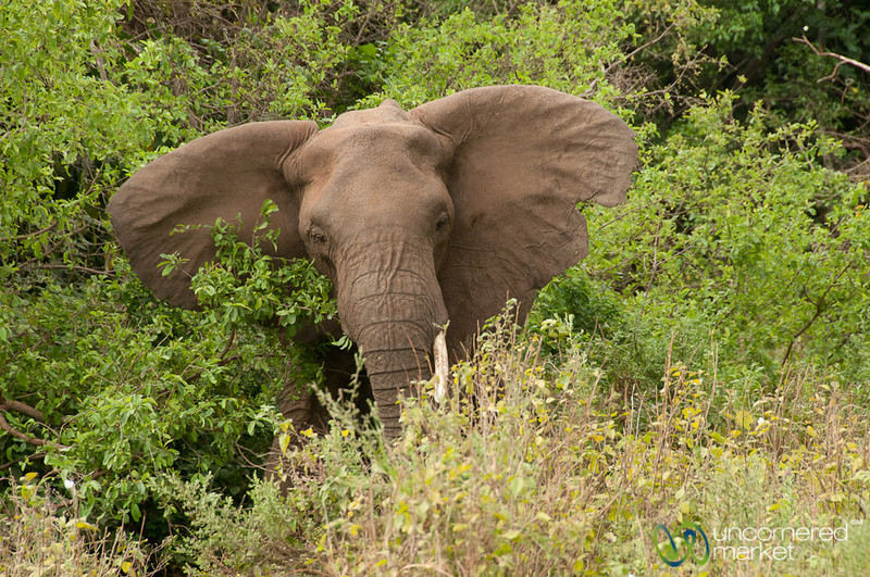 Elephant with Big Ears - Lake Manyara, Tanzania