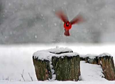 Virginia Cardinals in Winter