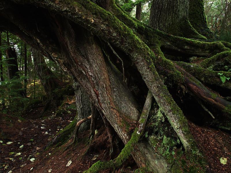 Auke Tree Roots-2.jpg