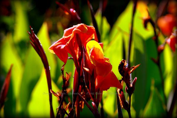 Orange Harvest Irise
