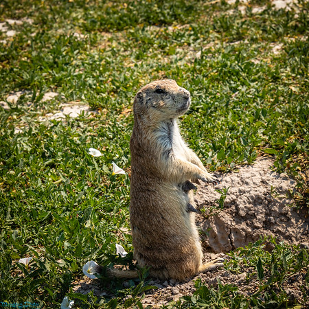 Badlands and Prairie Dogs