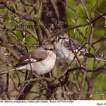 NorthernMockingbirdsP41064.jpg