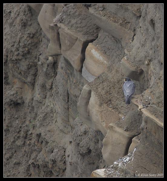 Peregrine Falcon habitat, La Jolla Cove, San Diego County, California, February 2010