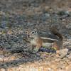 2016_ Harris' antelope squirrel_ Tucson_ April_IMG_3482