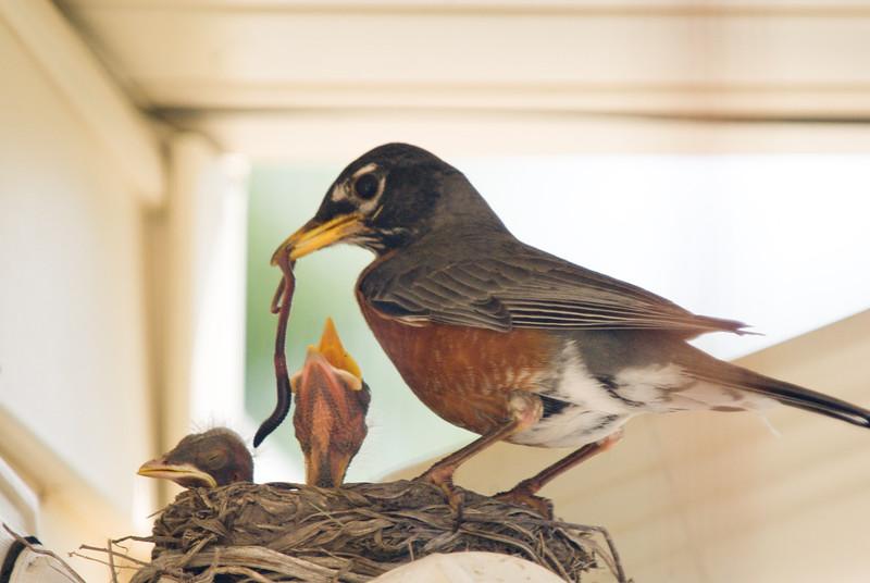 044 Spring 2007 Robin Nest.jpg
