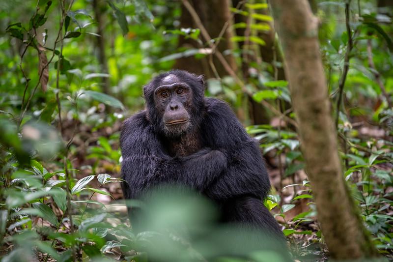 Uganda_T_Chimps-39.jpg