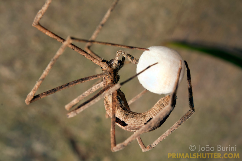 Ogre faced spider spinning a round eggsac.