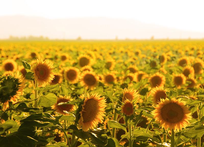 Sunflowers2461.jpg