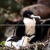 """Wildlife, landforms & landscapes of the Galapagos Islands. <br /> Great Frigate bird, in nest with young.<br /> Photos, prints & downloads SEE ALSO:  <a href=""""http://www.blurb.com/b/3551540-galapagos-islands"""">http://www.blurb.com/b/3551540-galapagos-islands</a>"""