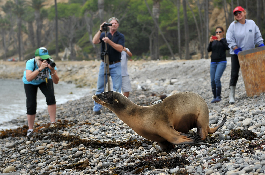 ". 8/16/13 - Marine Mammal Care Center released a satellite tagged sea lion on Friday afternoon. This is unusual because the tags are expensive, costing between $3,000 and $5,000 apiece. The tags allow biologists to track animals. This tag was sponsored by Patricia Cornwell, a well known author who named the sea lion ""Marino\"" after a character in one of her books. Photo by Brittany Murray, Press Telegram"