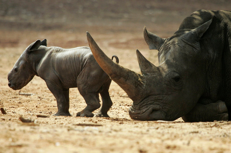 . A two-day-old male black rhinoceros baby stands next to his mother Tanda at the Ramat Gan Safari near Tel Aviv, Israel. The newborn rhinoceros was the first rhinoceros to be born in captivity in Israel in 15 years. (AP Photo/Ariel Schalit)
