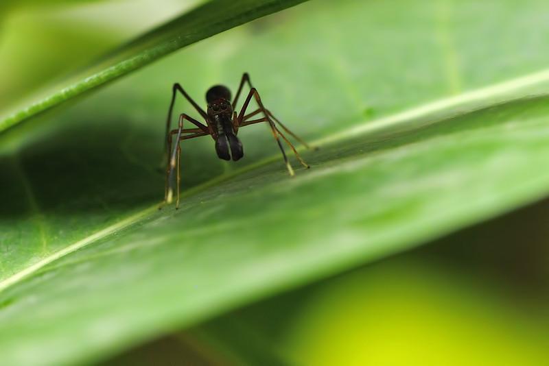 Ant-mimic-Spider-01.jpg