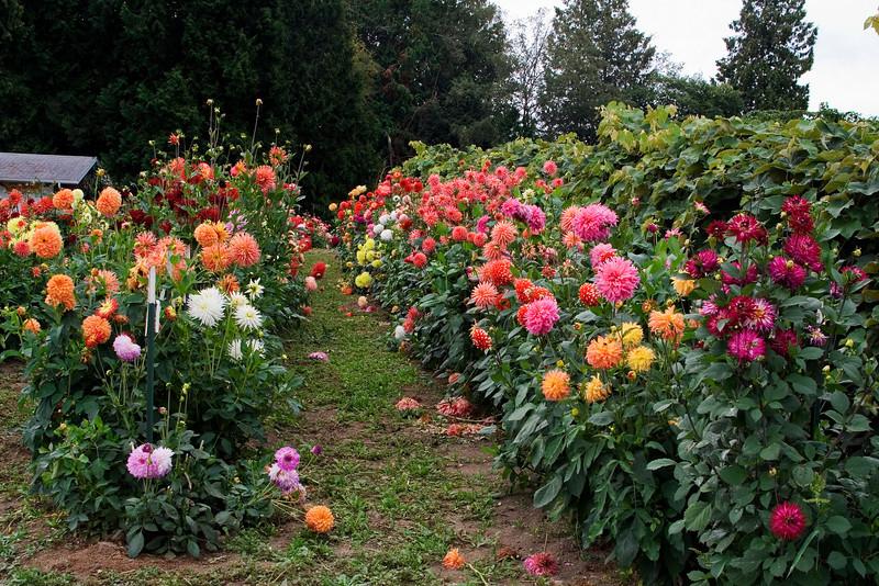 Dahlia Garden 4.jpg