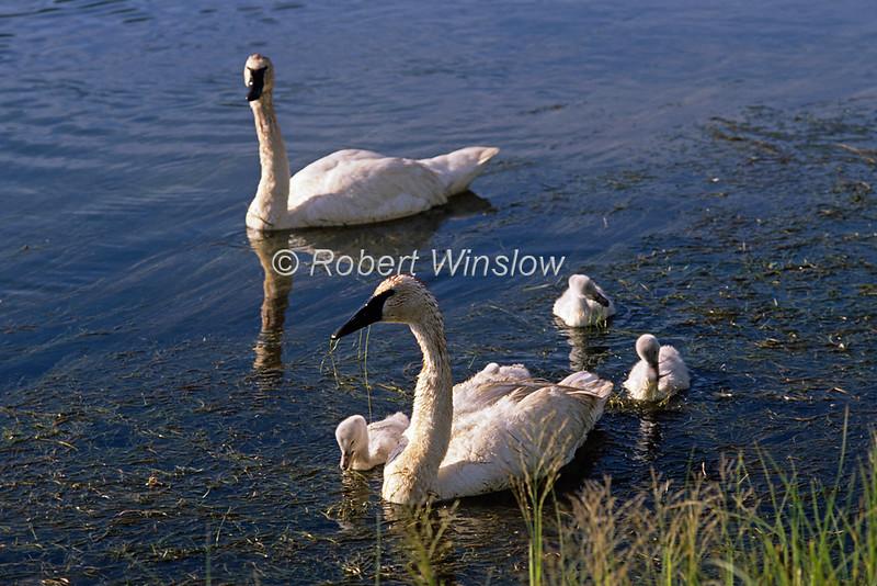 Trumpeter Swan, Cygnus buccinator, Yellowstone National Park, Wyoming, USA, North America