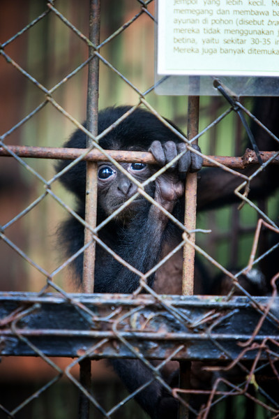 A baby Gibbon inside a cage at the Medan City Zoo