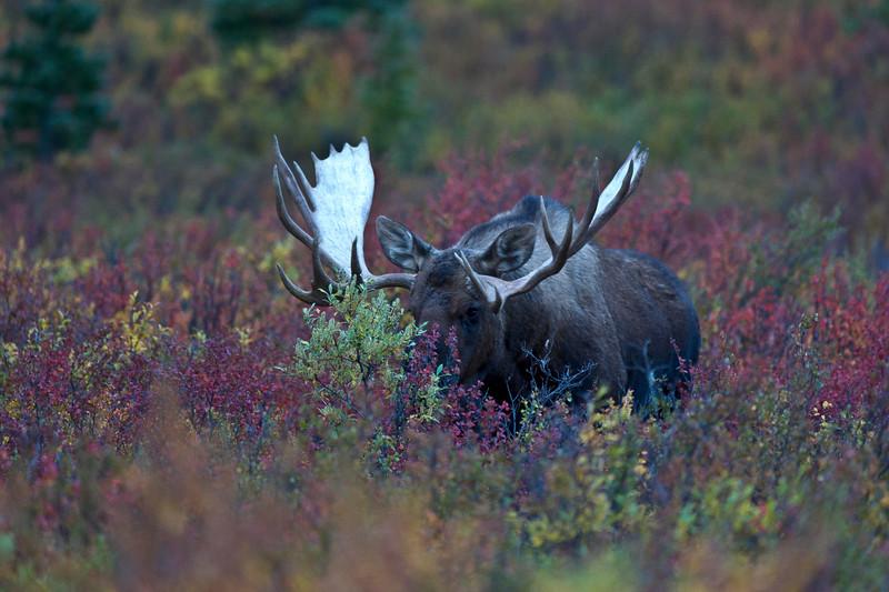Bull Moose Coming Through Denali National Park Alaska © 2013