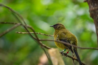 New Zealand Bellbird [Anthornis melanura]