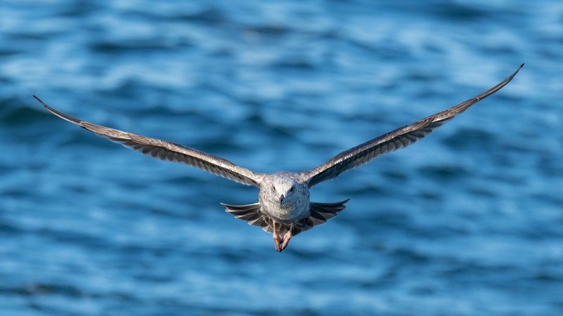 Western Gull  - Monterey, CA, USA