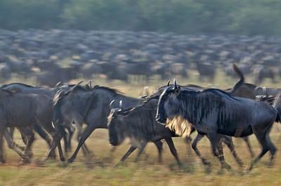 """""""Wildebeest migration in Masai Mara"""""""