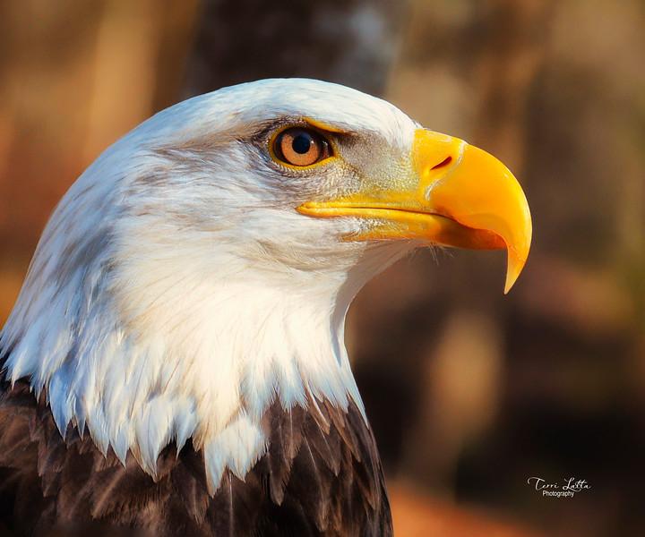 _DSC0845 Eagle.jpg