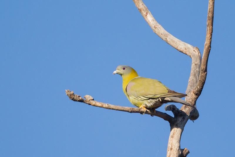 Yellow-footed Pigeon - Pench National Park, Madhya Pradesh, India