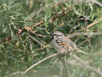 Tamariskivarpunen (Passer moabiticus)