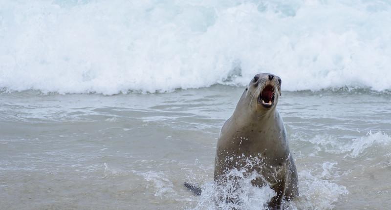 Zeeleeuw die Henk aanviel. Henk rende op tijd naar de duinen. (Jolanda)