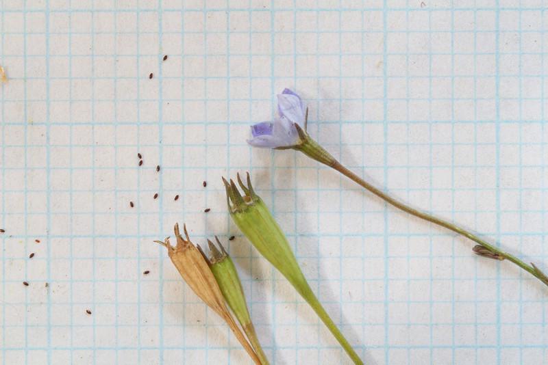 Wahlenbergia gracilis - Seed