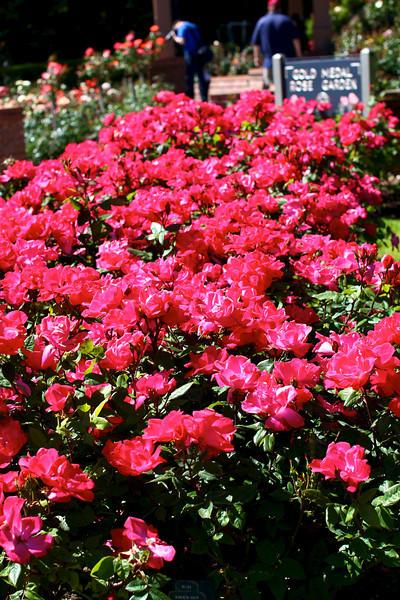 Portland International Rose Test Garden  2236.jpg