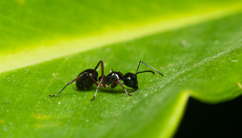 Weaver ant, Polyrhachis (Cyrtomyrma) from Chiang Mai, Thailand.