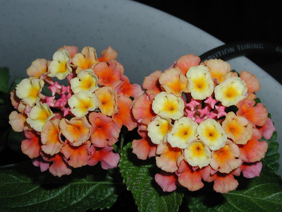 Multi-Colored Flowers - Lantana