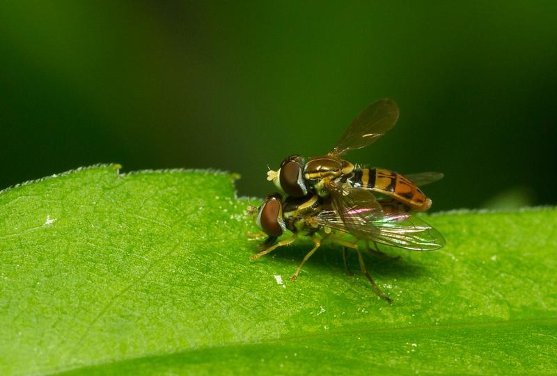 Mating Toxomerus marginatus from Iowa.