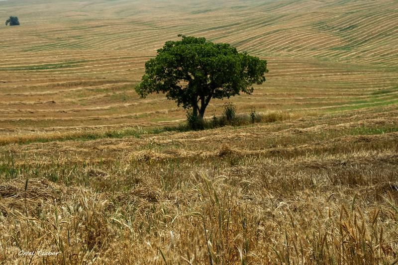 העץ הבודד.jpg
