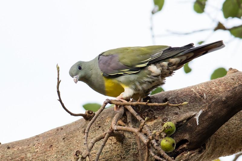 Bruce's Green-pigeon
