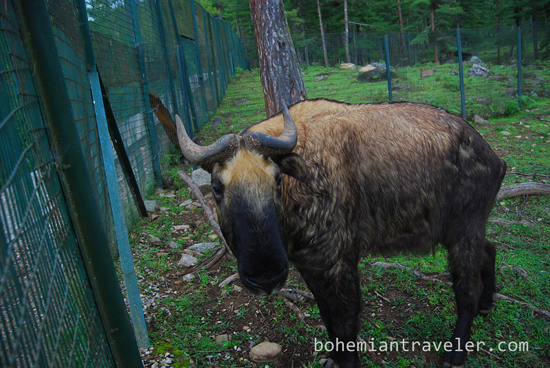 takin national animal of Bhutan.jpg
