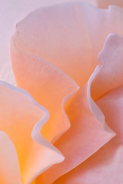 pink rose macro 0196.jpg