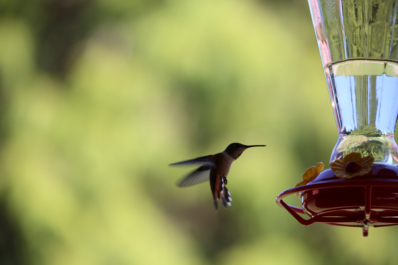 humming bird (21 of 55).jpg