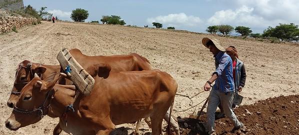 Farmign in Lahj's Al-Maqarerah district