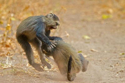Blue or Sykes Monkey