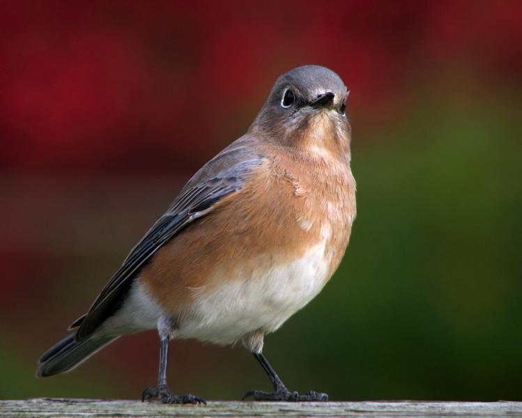 bluebird_4432.jpg