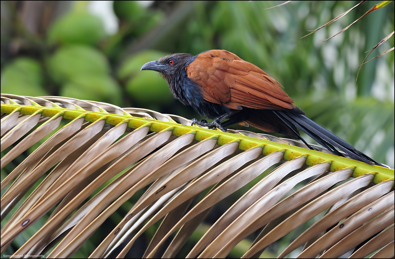 Greater Coucal....
