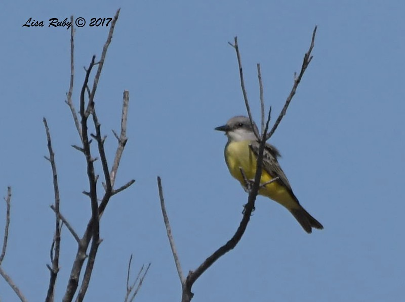 Tropical Kingbird - 10/10/2017 - Famosa Slough north