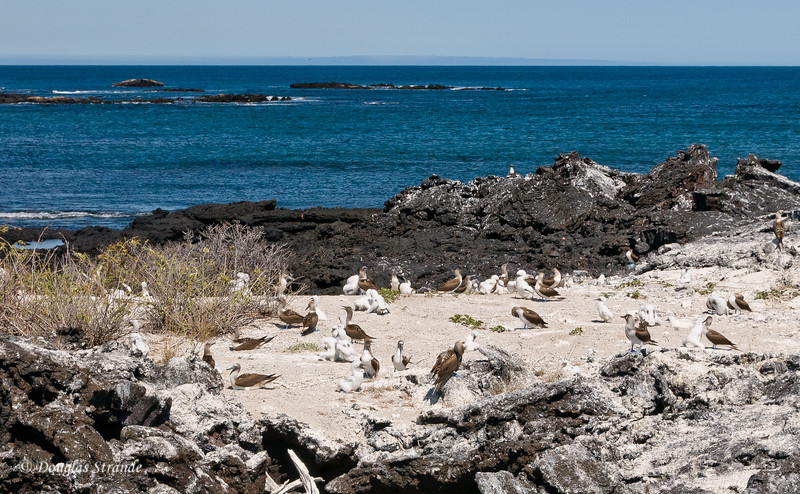 Blue-Footed Boobies with chicks on a cliff at Punta Moreno, Isabela Island