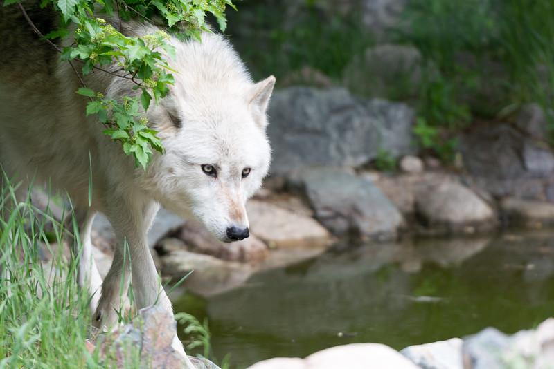 2016 Wolf Institute - Ely, MN-19.jpg